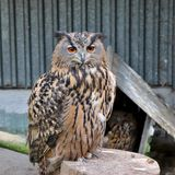 The Eurasian eagle-owl stock photography