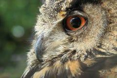 Eurasian eagle owl detail. The closeup of eurasian eagle owl royalty free stock images