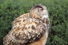 Eurasian-eagle owl Royalty Free Stock Images