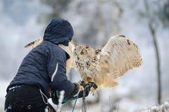Eurasian Eagle Owl di atterraggio di spirito del falconiere alla sua mano con il guantone di protezione immagine stock