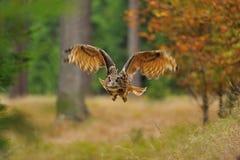 Eurasian Eagle Owl di volo immagini stock libere da diritti