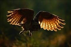 Eurasian Eagle Owl di volo con le ali aperte nell'habitat della foresta, foto con luce posteriore, scena nella foresta, mattina s fotografie stock