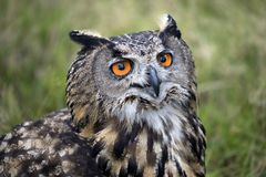 Eurasian eagle owl. With a green background stock image
