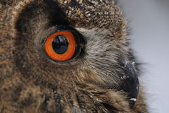 Eurasian Eagle Owl face. Closeup detail Stock Image