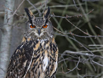 Eurasian Eagle Owl Face-to-Face Royalty Free Stock Images