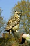 Eurasian eagle owl with a Falconer. Falconer with a Eurasian eagle owl Latin name Bubo bubo royalty free stock photos
