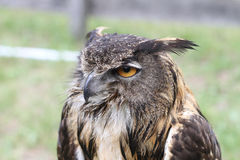 Eurasian Eagle Owl in falconry demonstration Stock Image