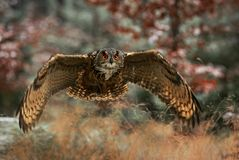 Eurasian Eagle-owl - Bubo bub. Eurasian Eagle-owl in flight royalty free stock photos