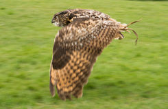 Eurasian Eagle Owl in flight. A eurasian eagle owl flying low across the green grass on a falconry trip in Scotland Royalty Free Stock Images