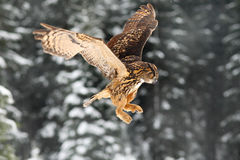 Eurasian Eagle owl, flying bird with open wings. Owl with snow flake in snowy forest during cold winter. Eagle owl in the nature h. Abitat. Sweden Stock Image