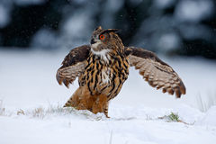 Eurasian Eagle owl flying with open wings in the forest during winter with snow and snowflake Royalty Free Stock Photos