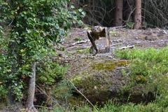 Eurasian eagle-owl Stock Image