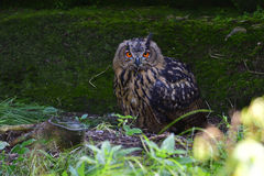 Eurasian eagle-owl Stock Images