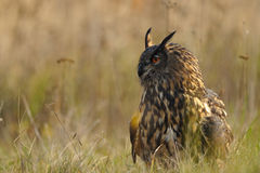 Eurasian Eagle-Owl in grass Royalty Free Stock Image