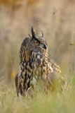 Eurasian Eagle-Owl in grass Royalty Free Stock Photo