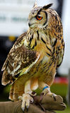 Eurasian Eagle owl, hand held (Bubo bubo) Royalty Free Stock Image