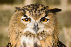Eurasian Eagle Owl head on. A Eurasian Eagle Owl, latin name Bubo bubo gazes at the camera Royalty Free Stock Image