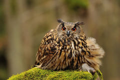 Eurasian Eagle Owl holding mouse as prey Stock Images