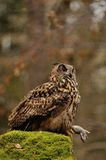Eurasian Eagle Owl holding mouse as prey Royalty Free Stock Photography
