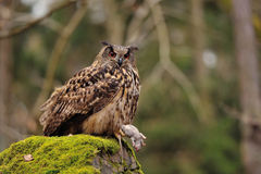 Eurasian Eagle Owl holding mouse as prey Royalty Free Stock Image