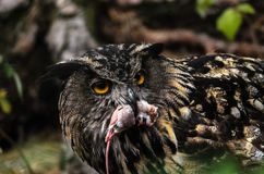 Eurasian eagle owl. Owl just caught todays breakfast Royalty Free Stock Photography