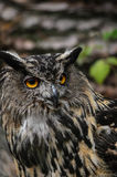 Eurasian eagle owl. Owl just caught todays breakfast Stock Images