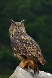 Eurasian Eagle Owl with kill hedgehog in talon, sitting on stone. Wildlife scene from nature. Bird with open wing. Owl with catch Royalty Free Stock Image