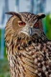 Eurasian Eagle Owl. The largest owl on the earth Stock Photo