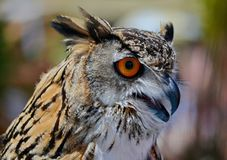 Eurasian Eagle Owl is a bird of prey from the family of owls, one of the largest representatives of the detachment of owls. Eurasian Eagle Owl Lat. Bubo bubo is royalty free stock image