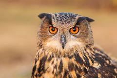 Eurasian eagle-owl looking at camera. Eurasian eagle-owl. Closeup portrait of eagle owl in natural habitat. Nocturn predator looking at camera with its orange royalty free stock images