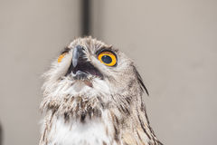 Eurasian Eagle-Owl with open beak, Bubo bubo Stock Photography