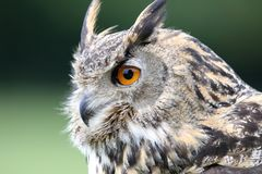 Eurasian Eagle Owl, Owl, Eurasian Stock Photography