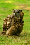 Eurasian eagle owl Stock Photo