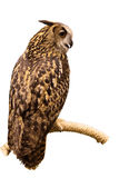 Eurasian Eagle Owl perched on a branch isolated on white backgro Royalty Free Stock Photos