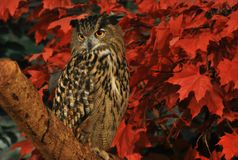An Eurasian Eagle Owl perched on top of a tree Stock Photography