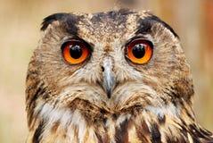 Eurasian eagle owl portrait. Raptor with beautiful orange eyes Royalty Free Stock Images