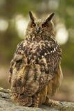 Eurasian Eagle Owl Portrait Royalty Free Stock Photo