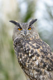 Eurasian Eagle-Owl Portrait fotografia stock