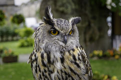 Eurasian Eagle Owl Portrait. A portrait of a Eurasian Eagle Owl also known as a European Eagle Owl. A large and powerful bird of prey royalty free stock images