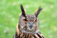 Eurasian eagle-owl Royalty Free Stock Photos