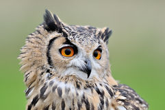 Eurasian eagle-owl. Portrait on a Eurasian eagle-owl with green clean background facing head on looking forwards Royalty Free Stock Images