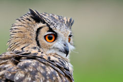 Eurasian eagle-owl. Portrait on a Eurasian eagle-owl with green clean background facing head on looking forwards Stock Images
