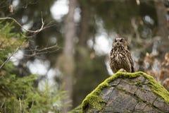 Eurasian Eagle Owl with prey Stock Photography