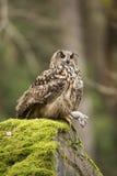 Eurasian Eagle Owl with prey Stock Photos