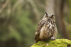 Eurasian Eagle Owl with prey. In the forest royalty free stock photography