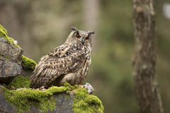 Eurasian Eagle Owl with prey. In the forest stock photo