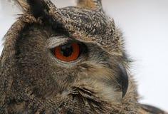 Eurasian Eagle Owl Profile Stock Photography