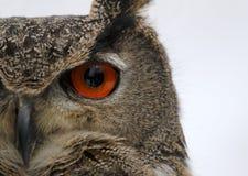 Eurasian Eagle Owl Profile Stock Images