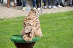 Eurasian Eagle Owl. It's an eurasian eagle owl during a training stock photography