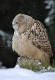 Eurasian Eagle Owl shaking head. To clean snow from it royalty free stock photography